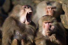 Baboon teeth stock photos