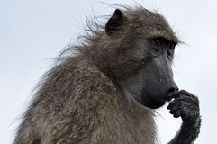 Baboon - The Thinker Royalty Free Stock Image