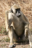 Baboon thinking Royalty Free Stock Photo