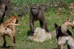Baboon threatened by dogs. Female chacma baboon threatened by dogs in Cape Town South Africa Royalty Free Stock Photo