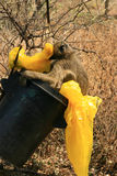 Baboon in trashcan Stock Photography