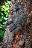 Baboon on a tree. Stock Images