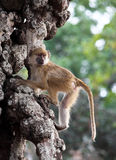Baboon on tree Royalty Free Stock Image