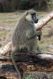 Baboon on a tree. A babbon on a tree eating and watching stock photo