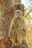 Baboon on a tree royalty free stock photo