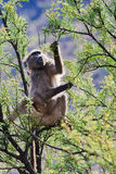 Baboon in a Tree Stock Images