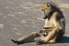 Baboon. A chacma baboon scratching itself Royalty Free Stock Image