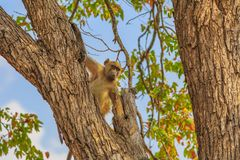 Baboon on a tree royalty free stock image