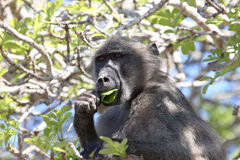 Baboon in tree eating Stock Image