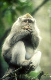 Baboon in tree-grainy image Stock Photography