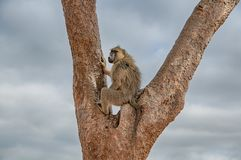 Baboon on a tree in Kenya royalty free stock photo