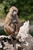 Baboon on tree stump Stock Photo