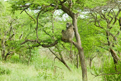 Baboon in tree in Umfolozi Game Reserve, South Africa, established in 1897 Royalty Free Stock Photo
