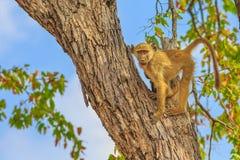Baboon on a tree stock photo