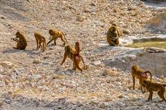 Baboon troop Stock Photo
