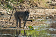 Baboon. A baboon trying to find food by the waterside Royalty Free Stock Photo