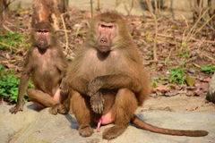 Baboon. Two baboons sitting together on the rock Stock Image