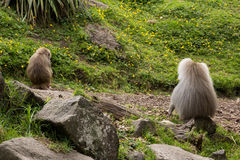 Baboon. Two of Hamdryas Baboons sitting on rock royalty free stock photography