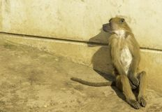 Baboon. A very strong and intelligent primate, the Baboon stock photos