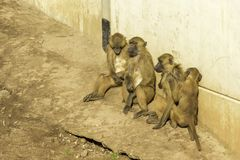 Baboon. A very strong and intelligent primate, the Baboon stock photography