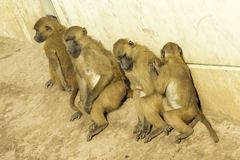 Baboon. A very strong and intelligent primate, the Baboon stock images
