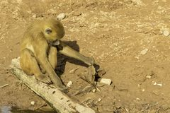 Baboon. A very strong and intelligent primate, the Baboon stock image
