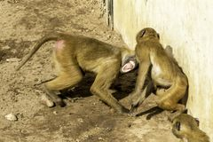 Baboon. A very strong and intelligent primate, the Baboon royalty free stock photo