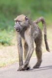 Baboon walking along a road looking for trouble. In nature Royalty Free Stock Image