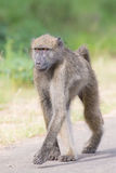 Baboon walking along a road looking for trouble. In nature Stock Images