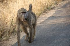 Baboon walking down road Stock Photography