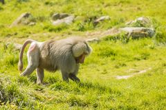 Baboon Walking In Grass royalty free stock photos