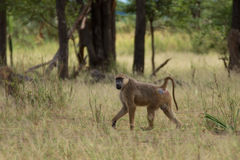Baboon walking through grassland Stock Images