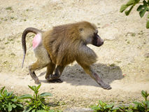 Baboon walking on ground Royalty Free Stock Image