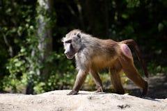 Baboon walking on ground Stock Photography