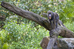 Baboon walking on tree branch Stock Images