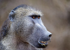 Baboon. This baboon was spotted in the Kruger National Park, South Africa, guarding his troop. I was intrigued by his obvious signs of masculinity, namely his Stock Photo