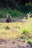 Baboon on watch Royalty Free Stock Image
