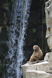 Baboon by waterfall Stock Photos