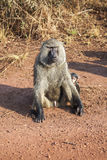 The baboon which is sitting with naked penis. Royalty Free Stock Photo