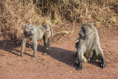 The baboon which is sitting with naked penis. Royalty Free Stock Photos