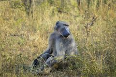 Baboon in the wild. Baboon adult africa african safari wildlife animal animals ape face isolated monkey primate sad sadness natur baboons baby cape chacma stock image