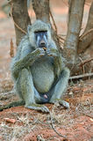 Baboon in the wild African Royalty Free Stock Photography