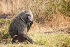 Baboon. In wild on Uganda Royalty Free Stock Image