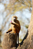Baboon in the wilderness Royalty Free Stock Images