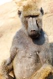 Baboon in the wilderness Stock Image