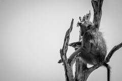 Baboon yawning in a dead tree in black and white. Baboon yawning in a dead tree in black and white in the Kruger National Park, South Africa Stock Image