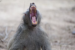 Baboon Yawning. A display of teeth and fangs as this Baboon yawns royalty free stock photos