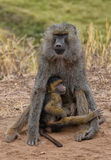 Baboon with young Royalty Free Stock Photo