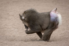 Baboon in the zoo Royalty Free Stock Photos