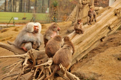 BABOON - ZOO - HUNGARY. Baboons in a zoo in Hungary royalty free stock photo